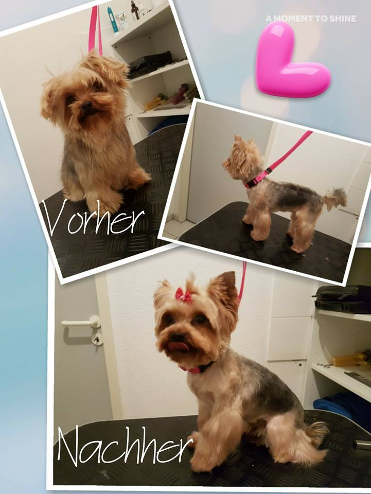 Yorkshire Terrier Bella