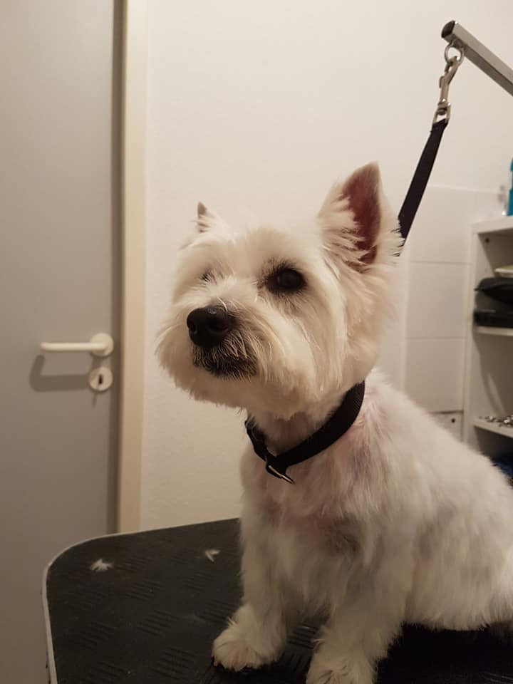 West Highland White Terrier Mona